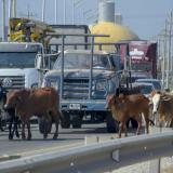 Animales, otro factor de riesgo en la vía