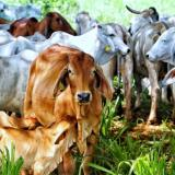 Ejemplares de ganado bovino en la Costa.