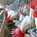 La OMS pide precaución ante casos de gripe aviar detectados en Rusia