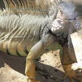 Decomisan 40 iguanas que habían sacrificado en el sur de La Guajira
