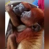 Rescatan a dos monos aulladores bebés en La Guajira