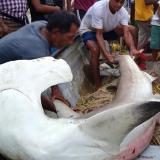 Atrapan tiburón martillo en playas de Córdoba