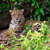 Jaguar volvió a atacar a los animales de campesinos en La Guajira