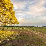 Con cañaguate, Aracataca se quiere vestir de amarillo
