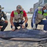 Hallan muerto delfín en las playas de Bocagrande, en Cartagena