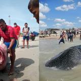 Capturan y asesinan a gigantesco tiburón en La Guajira