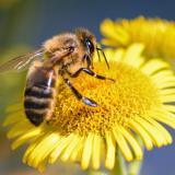Abejas y polinizadores enfrentan crisis por pérdida de hábitat y pesticidas