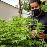 Cannabis: planta medicinal estigmatizada por la sociedad