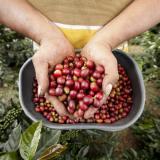 Exportaciones de café cayeron 52% en mayo por bloqueos
