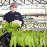 Bananeros, Policía y Armada le hacen frente al narcotráfico en la Costa