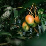 Sáquele el jugo a los beneficios del mango