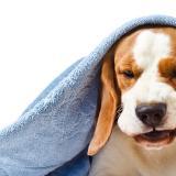La tos perrera, un mal que afecta a los caninos en época de lluvia
