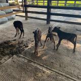 Una vaca parió cuatro terneros en hacienda de La Guajira