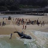 Muerte de ballenas jorobadas bate récord en Brasil, con más de 130 este año
