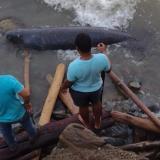 Investigan muerte de manatí en playas de Córdoba