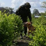 Campesinos se niegan a permitir la erradicación de hoja de coca en Córdoba