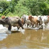 Fedegan pide declarar situación de desastre nacional en La Mojana