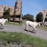 Olió su muerte y se escapó: vaca corrió por avenida en Bogotá