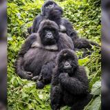 Vea aquí más selfies de los gorilas y el guardabosques