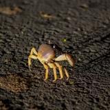 Interrupción del proceso migratorio de cangrejos