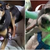 Mascotas Wasapea   'Icaro' y 'Timón' se encuentran extraviados