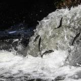 Migración de los peces salmonetes