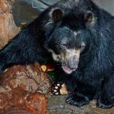 Así fue la llegada de Chucho, el oso de anteojos, al Zoológico de Barranquilla