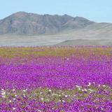 En video | Lluvia convierte desierto de Atacama en un jardín florido