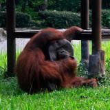 Orangután fumando cigarrillo causa indignación en Indonesia