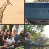 En video | Zoológico mexicano presenta a una jirafa bebé
