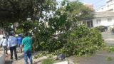 Damab interviene primer árbol afectado con 'La Pajarita'
