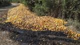 En Ciénaga se pierde el mango por falta de comercialización