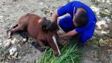 Uno caballo mientras era atendido por  un veterinario de la Patrulla Animal.