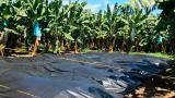Por presencia del posible hongo, erradican 75 hectáreas de plátano