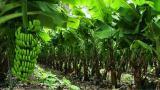 Erradicadas 168,5 hectáreas afectadas por hongo del banano en La Guajira