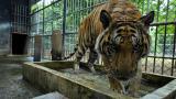 En video | Carrera contrarreloj para salvar unos sesenta tigres confiscados a un templo
