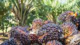 Del 'oro blanco' a la palma de aceite y al cacao