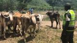 Ganaderos guajiros, golpeados por precios de leche y abigeato