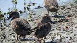 Pato Barraquete: Parques Nacionales busca protegerlo en Ciénaga Grande de Santa Marta