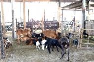 El proyecto de cía de carneros que beneficiaría a 500 campesinos de Córdoba es uno de los más cuestionados.