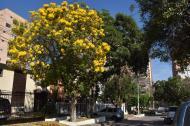 El Roble Amarillo florece por estos días junto al árbol Lluvia de Oro.