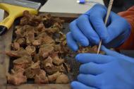 Un trabajador del grupo investigativo de la concesión realiza la limpieza de algunos restos óseos.
