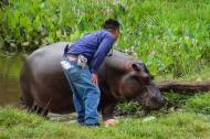El hipopótamo de 1,15 metros de altura y 2,20 de largo, se calcula que tiene tres años de edad.