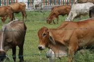Ejemplares de ganado bovino en una finca de la Costa Caribe.
