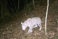 El jaguar es una especie en vías de extinción en el Caribe colombiano.