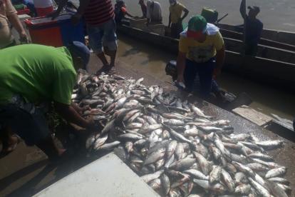En una faena pueden coger hasta 1.600 peces.