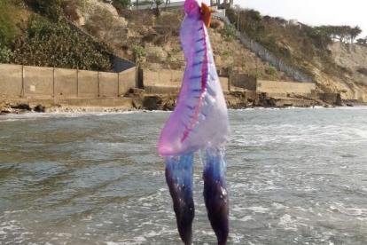 Esta medusa fragata portugesa fue encontrada en els ector del Castillo de Salgar.