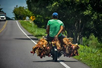 Dos personas, sin ninguna medida de seguridad, llevan varias gallinas sobre la vía La Cordialidad.