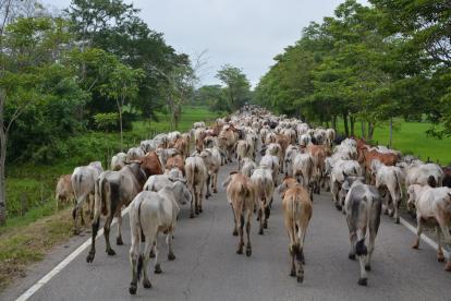 Decenas de reses son evacuadas por la vía Majagual-San Marcos, en el departamento de Sucre.