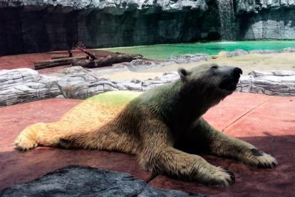 Inuka, el oso polar que murió este miércoles en el zoo de Singapur.